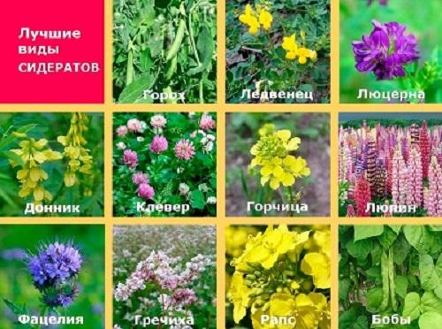 Растения-сидераты: