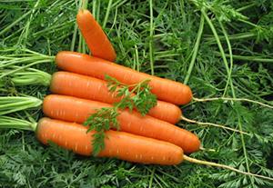 Лучшие сорта моркови в Украине: пять лучших гибридов