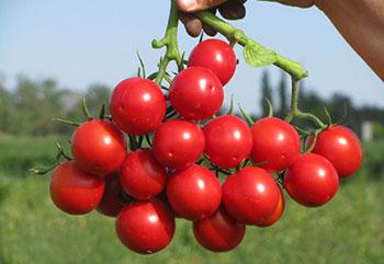 Лучшие сорта помидор в Украине: ТОП 5 гибридов томатов для открытого грунта