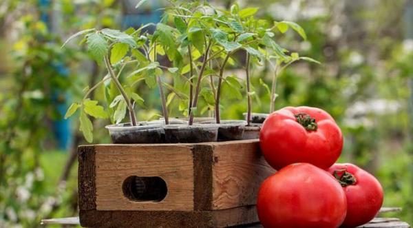Посадка помидор на рассаду: рекомендации и советы для здоровой рассады