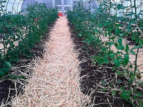 Чем мульчировать томаты в теплице, чтобы не навредить растениям