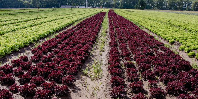 Технология выращивания салата