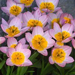 Тюльпан Bakeri Lilac Wonder,  Florium