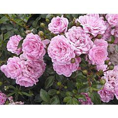 Саженцы роз почвопокрывная The Fairy (Зэ Фэйри)