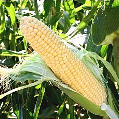 САНРАЙЗ F1 / SUNRISE F1 — Кукуруза Сахарная, Agri Saaten