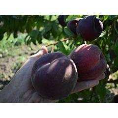 Саженцы персика Рубиновый Принц