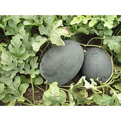 LS 1544 F1 – Арбуз, Lucky Seed