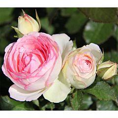Саженцы роз плетистая Eden Rose (Эден Роуз)