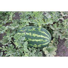 ХАНТЕР (ЛС 1812) F1 / HANTER (LS 1812) F1 – Арбуз, Lucky Seed