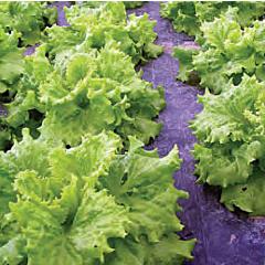 ХАГИН / HUGIN — салат, Seminis