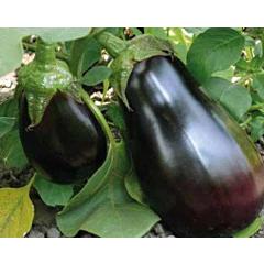 МОДАР F1 / MODAR F1 — Баклажан, Lark Seeds
