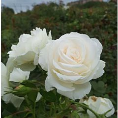 Саженцы роз полиантовая Schneewitchen (Шнеевитхен)