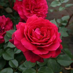 Саженцы роз кордес Bordo (Бордо)