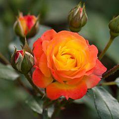 Саженцы роз полиантовая Rumba (Румба)