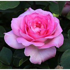 Саженцы роз кордес Beverly (Беверли)