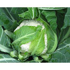 НЕМО F1 / NEMO F1 - капуста цветная, Clause (Agrolife)