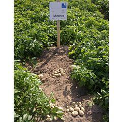 Минерва, семенной картофель