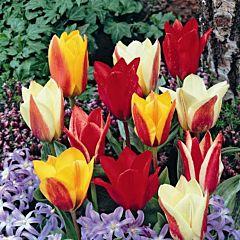 Тюльпан Greigi Микс,  Florium
