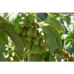 Саженцы актинидии (киви) Крупноплодная, женская