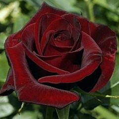 Саженцы роз чайно-гибридная Black Magic (Блек Меджик)