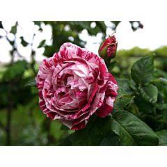 Роза парковая Фердинанд Пишард (Професійне насіння)