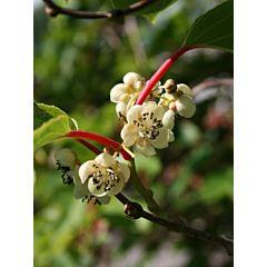 Саженцы актинидии (киви) Опылитель (Професійне насіння)