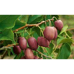 Саженцы актинидии (киви) Пурпурная, женская