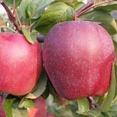 Саженцы яблони Рихард