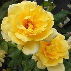 Саженцы роз плетистая Golden Showers (Голден Шауэрс)