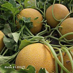 КС 810 F1 / КС 810 F1 - Дыня, Kitano Seeds