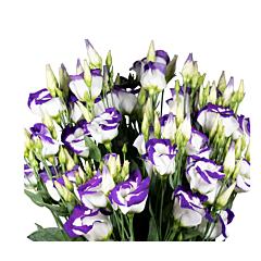 Роза ( Эустома ) Grandiflorum Piccolo 2 Blue Picotee F1, Sakata