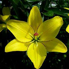 Лилия Yellow Cocotte, 3 луковицы, Florium