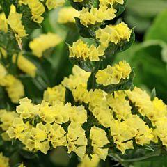 Кермек QIS, желтый, Pan American (Садыба Центр)