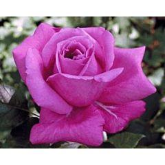 Роза плетистая Виолет Парфум (Професійне насіння)