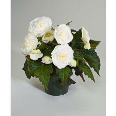 Бегония клубневая Fortune White with Rose Back F1, Sakata
