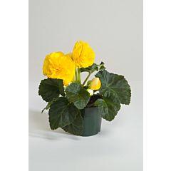 Бегония клубневая Fortune Yellow F1, Sakata