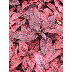 Гипоэстес Confetti XL Red, Sakata