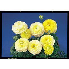 Лютик азиатский Bloomingdale Pure Yellow F1, Sakata