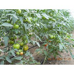 СИЛУЭТ F1 / SILUET F1 - томат полудетерминантный, Syngenta