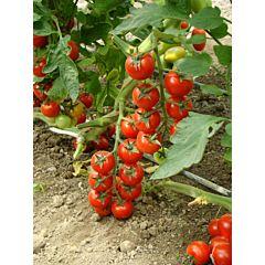 ХИЛМА F1 / HILMA F1 – томат высокорослый, Clause  (Agrolife)