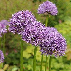 Аллиум Purple Sensation,  Florium