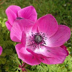 Анемона Sylphide, 10 луковиц, Florium