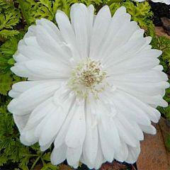 Анемона Whirlwind, 1 корень, Florium