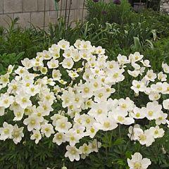 Анемона Anabella White,1 корень, Florium