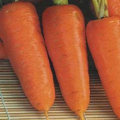 АНЕТА F1 / ANETA F1 — морковь, Moravoseed