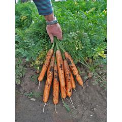 АНИНА / ANINA — Морковь, Semo