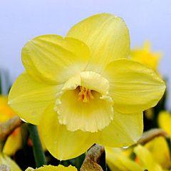 Нарцисс Avalon,  Florium