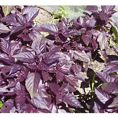 Базилик фиолетовый Темный опал, Hem Zaden (Професійне насіння)