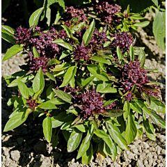 Базилик зеленый Гвоздичный, Hem Zaden (Професійне насіння)