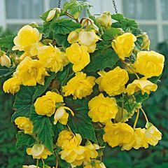 Бегония клубневая Cascade Yellow, 1 луковица, Florium